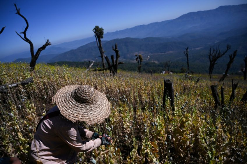 a farmer working at an illegal poppy field in Hopong, Myanmar Shan State.