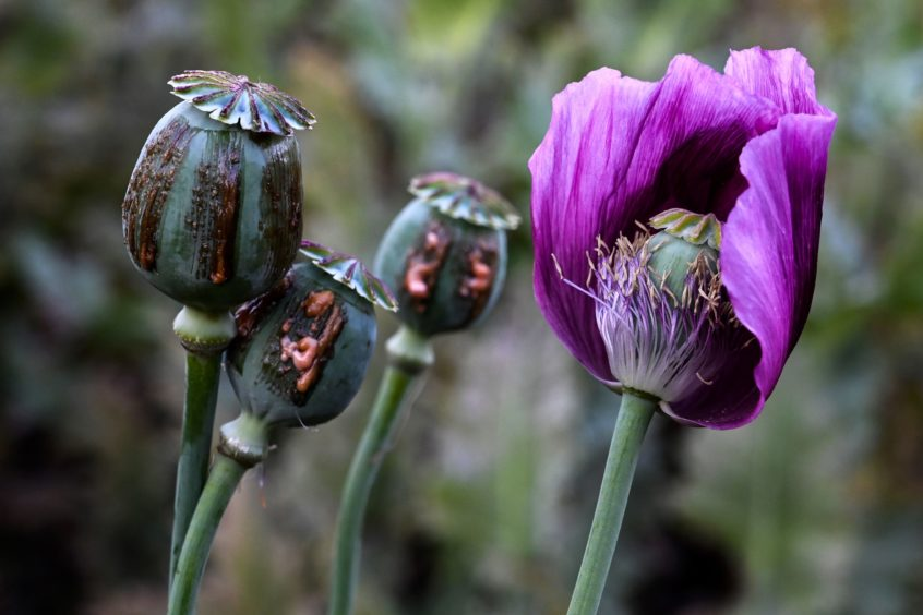 Some of the poppy buds within the field.