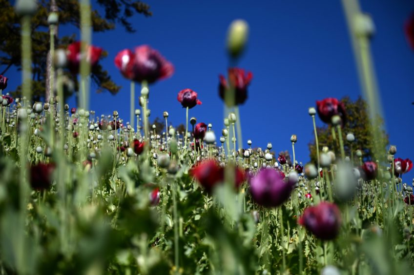 A field of purple opium poppies.