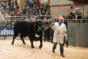 The 25,000gns top price Aberdeen-Angus angus bull, Linton Gilbertines Elgin, in the sale ring.