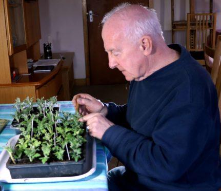 John taking chrysanthemum cuttings