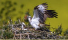 An osprey and chick at  SWT Balgavies Loch reserve, near Forfar. Picture: Darren Dawson