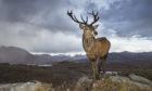 Red deer (Cervus elaphus) stag in west Highland landscape, Lochcarron, Wester Ross, Scotland @petercairns