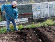 Planting Mayan Gold potatoes