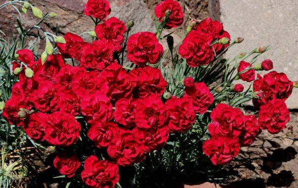 Red garden pinks