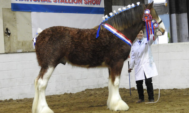 Supreme champion Clydesdale Doura Magic Touch from Charlotte Young of Hall, Ayr.