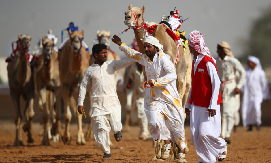 Handlers gather camels after the race.