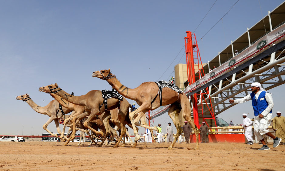 Camels race during Al Marmoom Heritage Festival.