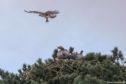 One of the ospreys hovering over the nest as the geese sit tight. Picture: Balgavies Loch Ospreys.