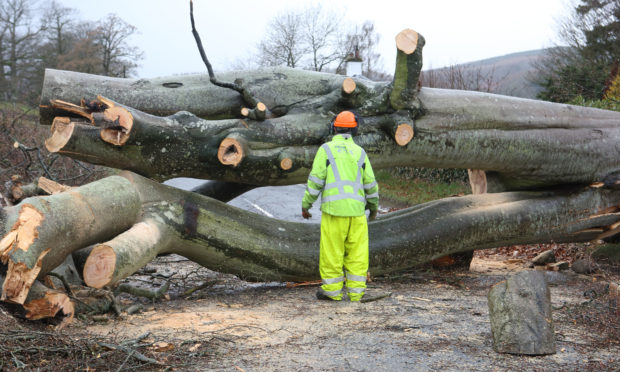 The tree which fell, blocking the A85 between Crieff and Comrie.