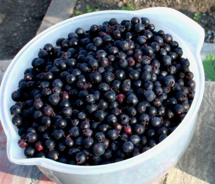 Berry good time for saskatoons! - The Courier
