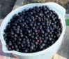 Freshly picked Saskatoons