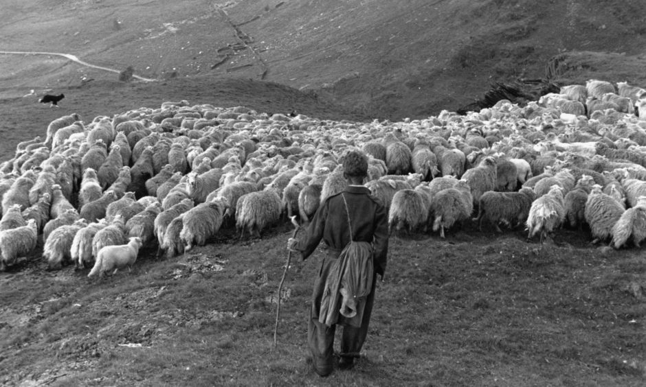 11th August 1951:  Snowdonia sheep farmer, Pyrs Williams, with his flock, at Hafod-y-Llan. Original Publication: Picture Post - 5377 - Shearing Time In Snowdonia - pub. 1951