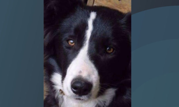 One-year-old collie dog goes missing after leaping from