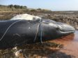 The entangled whale spotted in the Forth was found dead on a beach in East Lothian