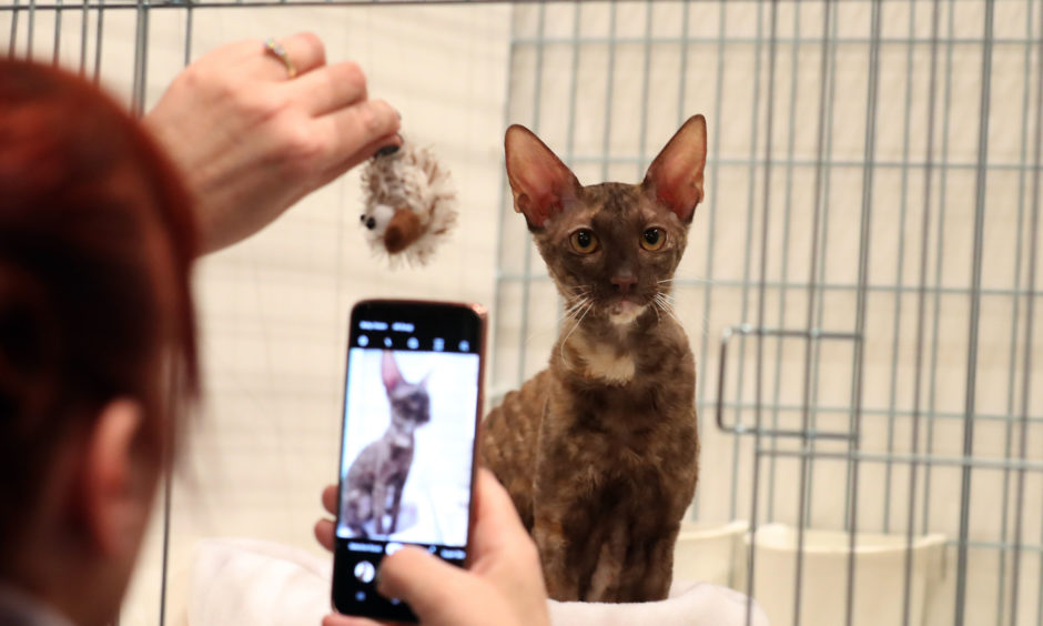 A Cornish Rex cat at the show.