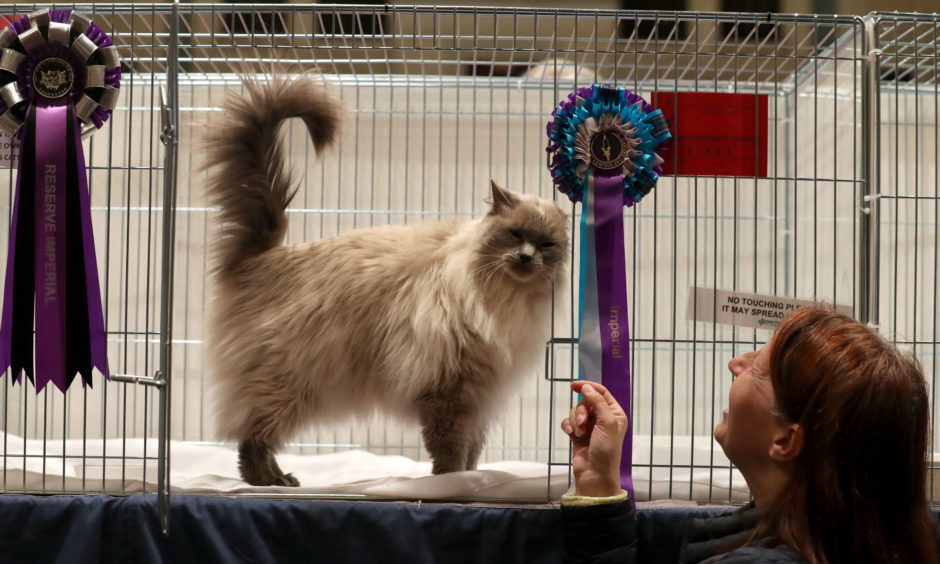 Athena Orea, the blue point ragdoll cat, with owner Maggi Fenwick from Dundee at the show.