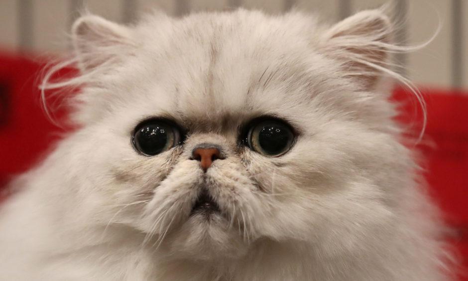 An Exotic shorthair cat.