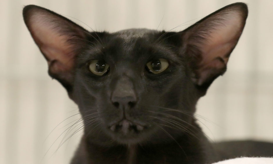 A black Oriental shorthair cat.