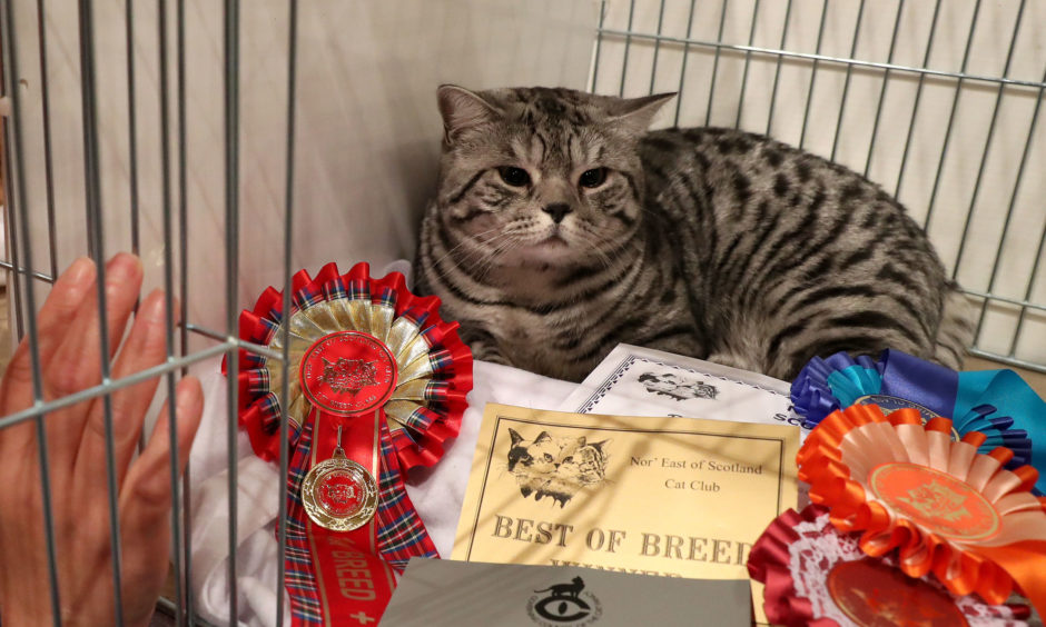 Andrea Craig looks at her silver spotted tabby British Shorthair cat with its rosettes.