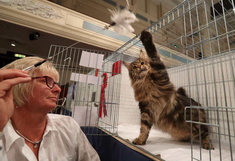Julie Gregson with Skyla the Maine Coon cat.