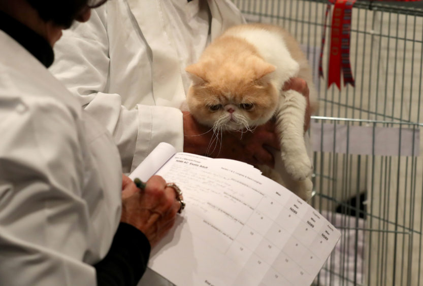 An Exotic shorthair cat is judged.