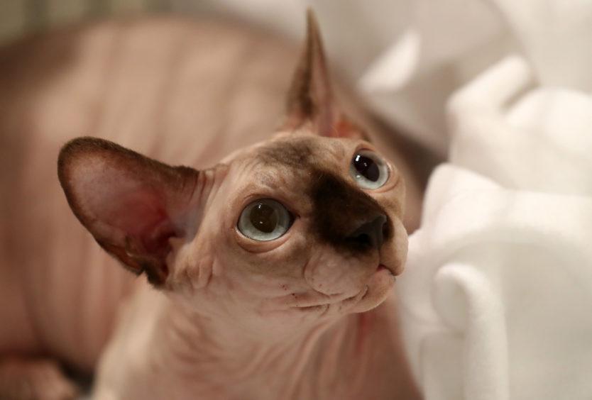 A Sphynx cat.