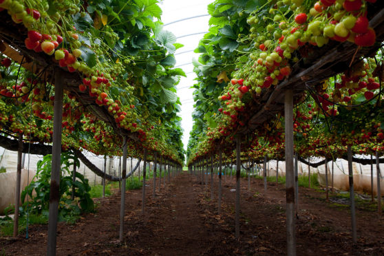 Commercial strawberry growers have had success working with the WET Centre.