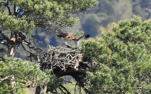 Ospreys at Loch Of The Lowes, near Dunkeld.