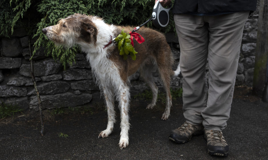 A dog with Oak leaves on its collar watches the procession.