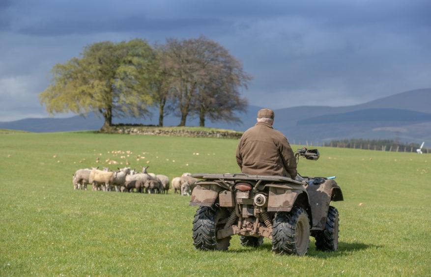Farmer tending to his sheep in Kinross-shire