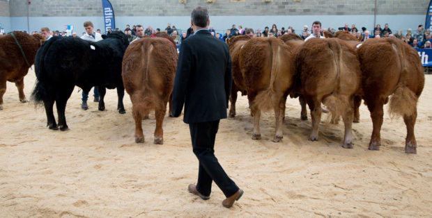 The impact of the Ballinloan registration crisis will be felt by Limousin breeders across the UK.