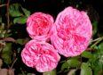 Shrub rose Gertrude Jekyll for cut flower.