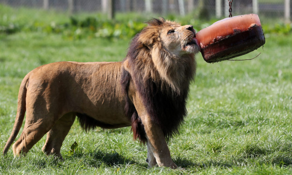 A lion licks a blood filled ice block at Blair Drummond Safari Park.