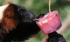 Red ruffed lemurs with a fruit filled ice block at Blair Drummond Safari Park.