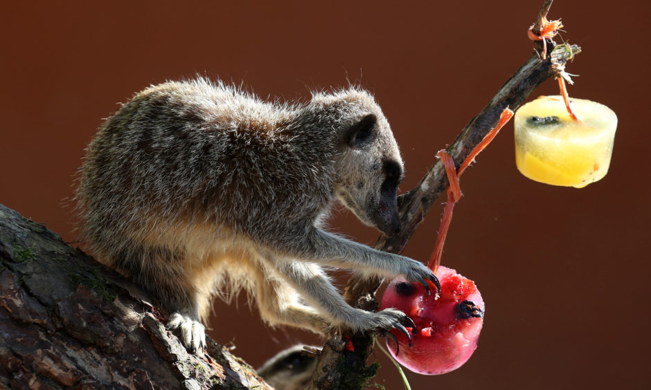 A meerkat with a fruit filled ice block.