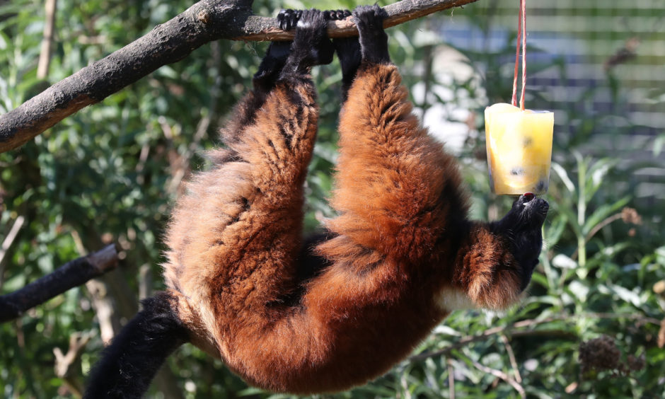 A red ruffed lemur with a fruit filled ice block.