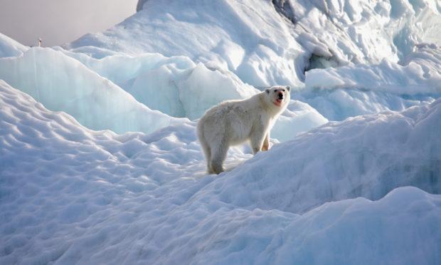 A polar bear in its natural environment.