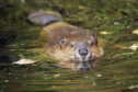 Beavers can have negative impacts  in highly productive agricultural areas.
