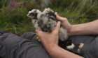 Hen Harrier Rannoch as a chick in 2017