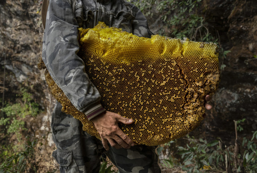 """A Chinese ethnic Lisu honey hunter holds a large piece of wax from a hive while gathering wild cliff honey in a gorge on May 10, 2019 near Mangshi, in Dehong prefecture, Yunnan province China. Gathering wild """"u2018cliff honey""""u2019 is not for the faint of heart. To get it, honey hunters face swarms of bees and get stung repeatedly while suspended from rope ladders; lower hives can often be reached with wooden ladders or poles. Hunters suit up in protective gear and use smoke to scatter the giant Himalayan honey bees from their hives to reduce the risk of confrontation, but there are literally thousands of them in each hive. An adult Himalayan honey bee, the world""""u2019s largest honey bee species, can measure 3 centimeters in size. The huntersnever take honey from all of the hives in one area, leaving enough for the bees to ensure theywill return the following season.Harvesting the honeyhas long been a cultural tradition and economic staple for the Lisu people, an ethnic group in the southwest mountainous areas of Yunnan province along China""""u2019s border with Myanmar. The Lisu are known to move skilfully in the mountains, but there are fewer honey hunters still practising the dangerous and exhausting pursuit of collecting the honey from isolated cliffside hives. The tradition is also not immuneto environmental change:some honey hunters claim they are finding fewer hives than in the past because bee populations are impacted by heavy pesticide use among local farmers and global warming. Cliff honey is considered purer and healthier than regular honey, and it is coveted by many in China where it typically sells for upwards of $50 U.S. per kilogram. A single hive can have many kilograms inside."""