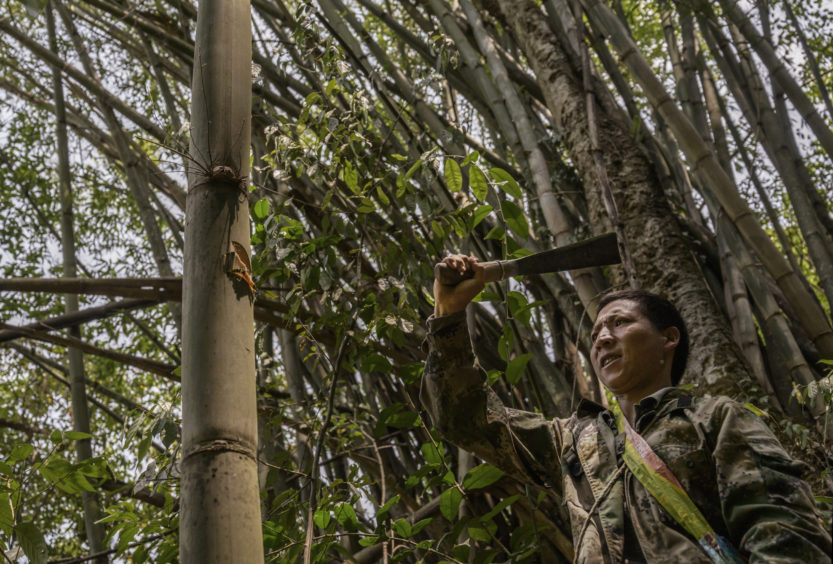 Chinese ethnic Lisu honey hunter Ma Yongde chops bamboo to make a container  after gathering wild cliff honey from hives in a gorge on May 10, 2019 near Mangshi, in Dehong prefecture, Yunnan province China.