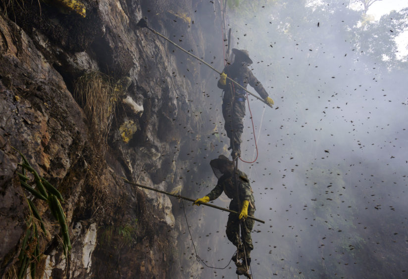 Chinese ethnic Lisu honey hunters Dong Haifa, top, and Mi Qiaoyun stand on a makeshift rope ladder as they are surrounded by bees as they work together gathering wild cliff honey from hives in a gorge  near Mangshi, in Dehong prefecture, Yunnan province China.