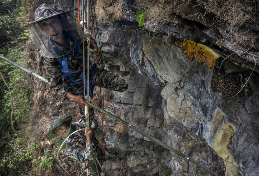 Chinese ethnic Lisu honey hunters Dong Haifa , top and Ma Yongde hang on a makeshift ladder while gathering wild cliff honey from hives in a gorge on May 30, 2019 near Mangshi, in Dehong prefecture, Yunnan province China.