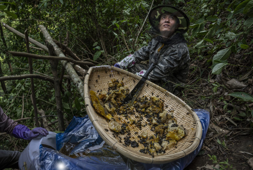 A helper looks up as he waits for more fresh wild cliff honey as Chinese ethnic Lisu honey hunters, not seen, gather it in a gorge on May 11, 2019 near Mangshi, in Dehong prefecture, Yunnan province China.