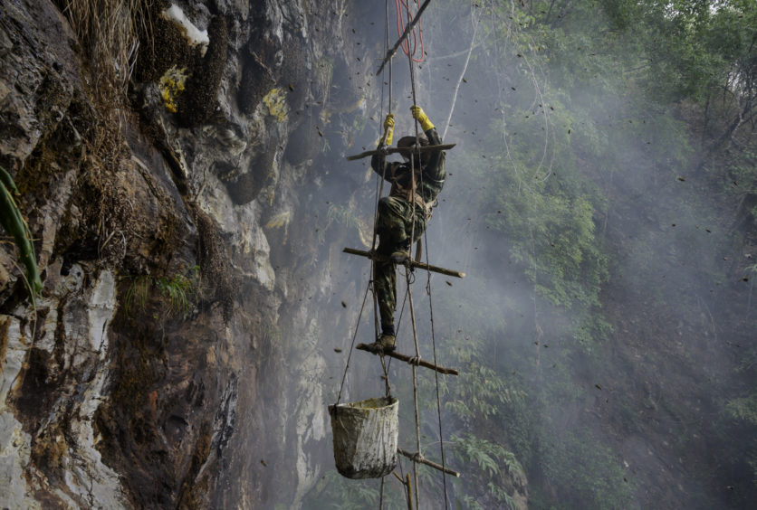 Chinese ethnic Lisu honey hunter Mi Qiaoyun is surrounded by bees as he climbs on a makeshift ladder while gathering wild cliff honey from hives in a gorge on May 11, 2019 near Mangshi, in Dehong prefecture, Yunnan province China.
