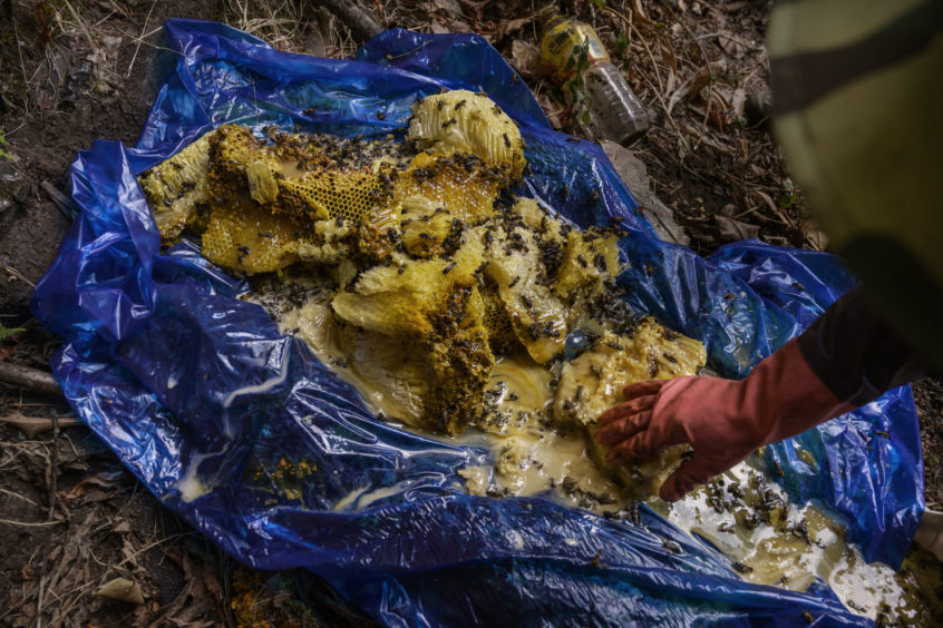 A Chinese ethnic Lisu honey hunter gathers fresh wild cliff honey in a tarp after collecting it from hives in a gorge on May 10, 2019 near Mangshi, in Dehong prefecture, Yunnan province China.