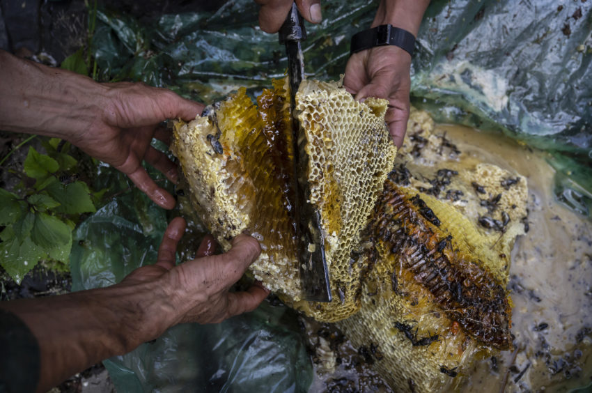 Chinese ethnic Lisu honey hunters cut fresh beehives after gathering wild cliff honey in a gorge on May 31, 2019 near Mangshi, in Dehong prefecture, Yunnan province China