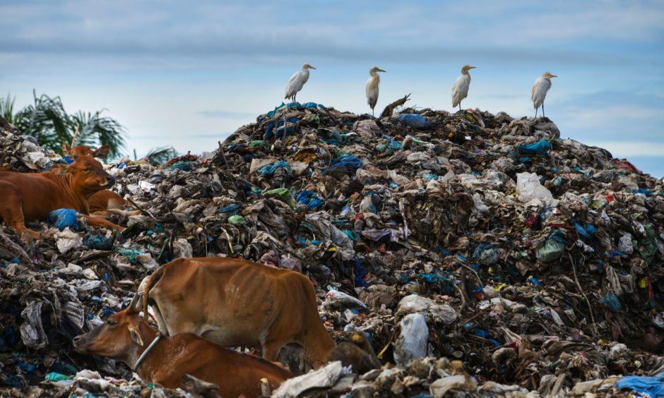 Egrets sit with cows on the top a rubbish pile at a waste dump in Meulaboh, Aceh province.