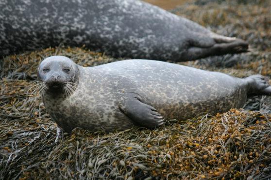 A junior harbour seal.